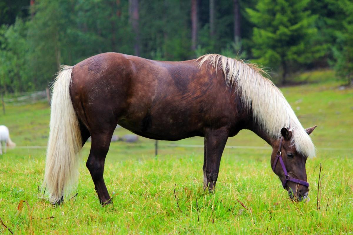 Aska, gårdens första islandshäst. Foto: Ida Lindkvist