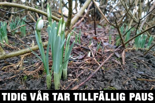 Redan i slutet av januari började de första snödropparna visa sig i trädgårdarna. Foto: Fredrik Norman