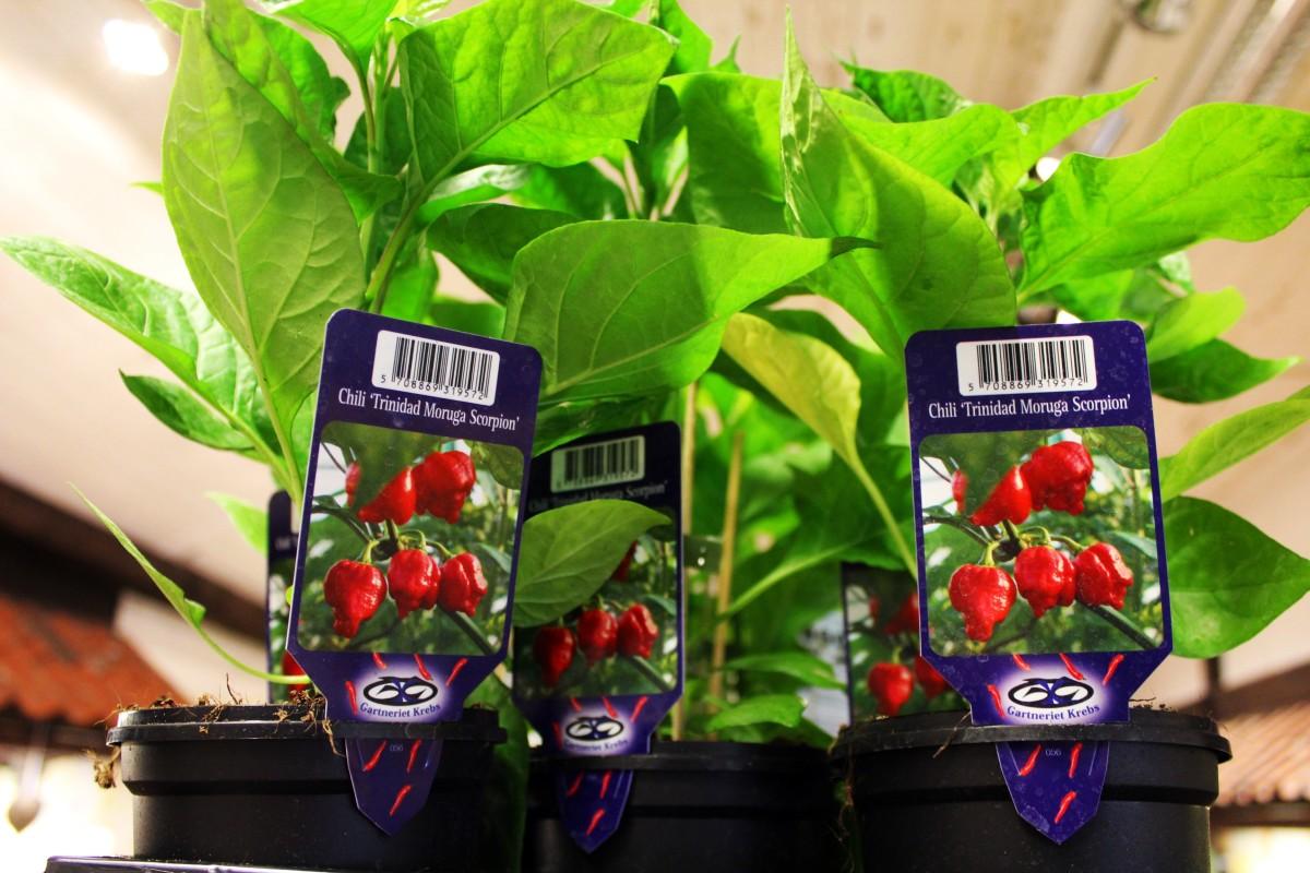 Plantmarknadens hetaste planta. Foto: Ida Lindkvist