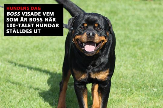 Rottweilern Boss hade en toppendag på Hundens Dag. Foto: Camilla Lagerman