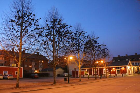 Träden längs Smedjegatan är trivsamma viloplatser för kajorna i centrum. Foto: Fredrik Norman