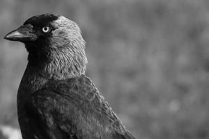 En smart rackare. Kråkfåglar än kända som problemlösare och måste bemötas med list. Foto: Fredrik Norman