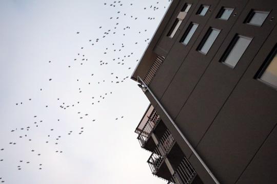 """Även ett stenkast från centrum kan stora """"moln"""" av kajor ses svepa över hustaken. Foto: Fredrik Norman"""