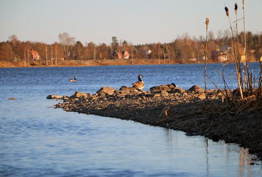 Gässen har slagit sig till ro i anslutning till Loppholmen. Foto: Fredrik Norman